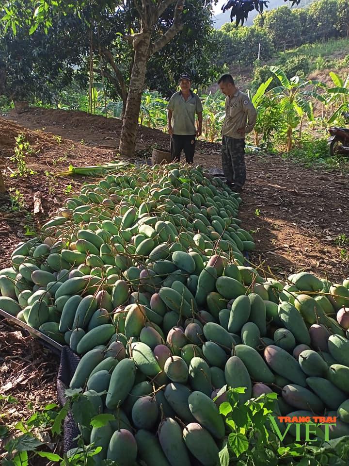 Mường La (Sơn La) xuất khẩu và tiêu thụ gần 7.000 tấn xoài - Ảnh 1.