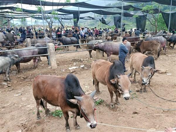 Cao Bằng: Cái chợ độc đáo ở vùng cao Hà Quảng-trâu, bò gầy, béo, lớn, bé mang đến đều bán được hết - Ảnh 1.