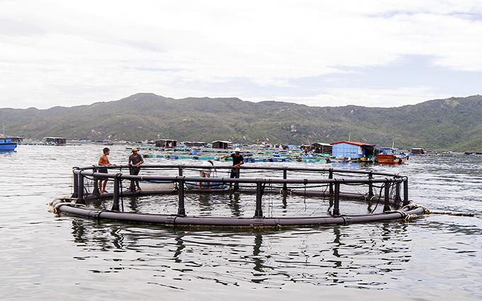 Khánh Hòa: Nuôi cá bớp trong những chiếc lồng khổng lồ, an toàn mưa bão cá lại lớn nhanh hơn