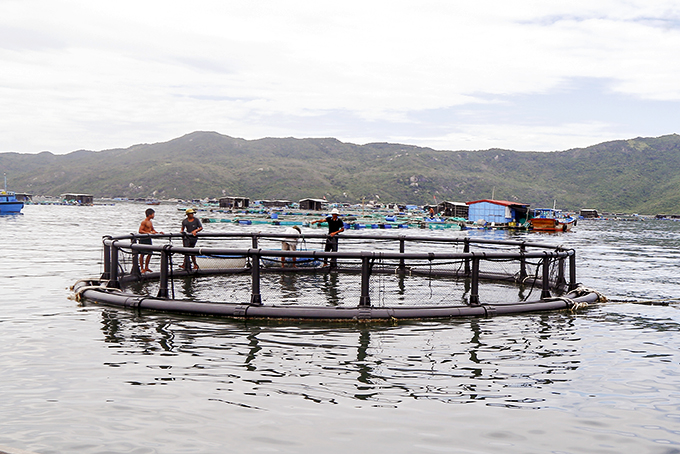 Khánh Hòa: Nuôi cá bớp trong những chiếc lồng khổng lồ, an toàn mưa bão cá lại lớn nhanh hơn - Ảnh 1.