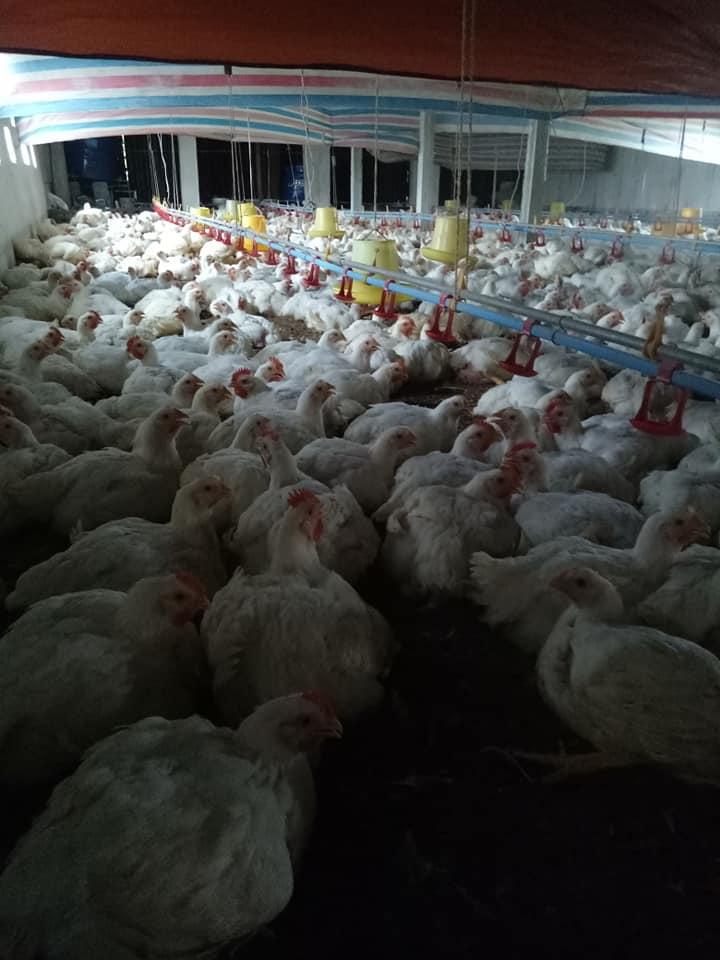 Giá gia cầm hôm nay 22/6: Giá gà công nghiệp giảm dần, giá vịt thịt miền Nam vẫn ở mức thấp - Ảnh 3.