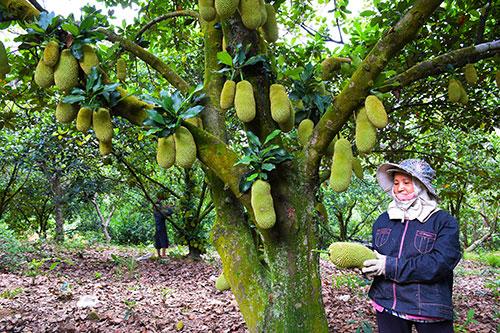 Bình Thuận: Ở nơi này một tiếng ve kêu 3 tỉnh đều nghe, nông dân trồng giống mít gì mà trái từ gốc tới ngọn? - Ảnh 1.