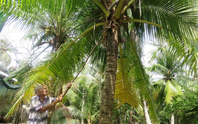 Bến Tre: Dừa hữu cơ trồng như thế nào, cách chăm sóc ra sao mà hái trái nào doanh nghiệp mua hết sạch?