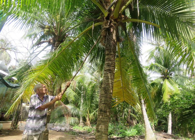Bến Tre: Dừa hữu cơ trồng như thế nào, cách chăm sóc ra sao mà hái trái nào doanh nghiệp mua hết sạch? - Ảnh 1.