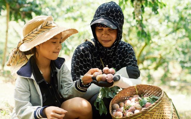 Người dân tỉnh Sơn La thu hoạch trái mận hậu. (Ảnh Foodmap)