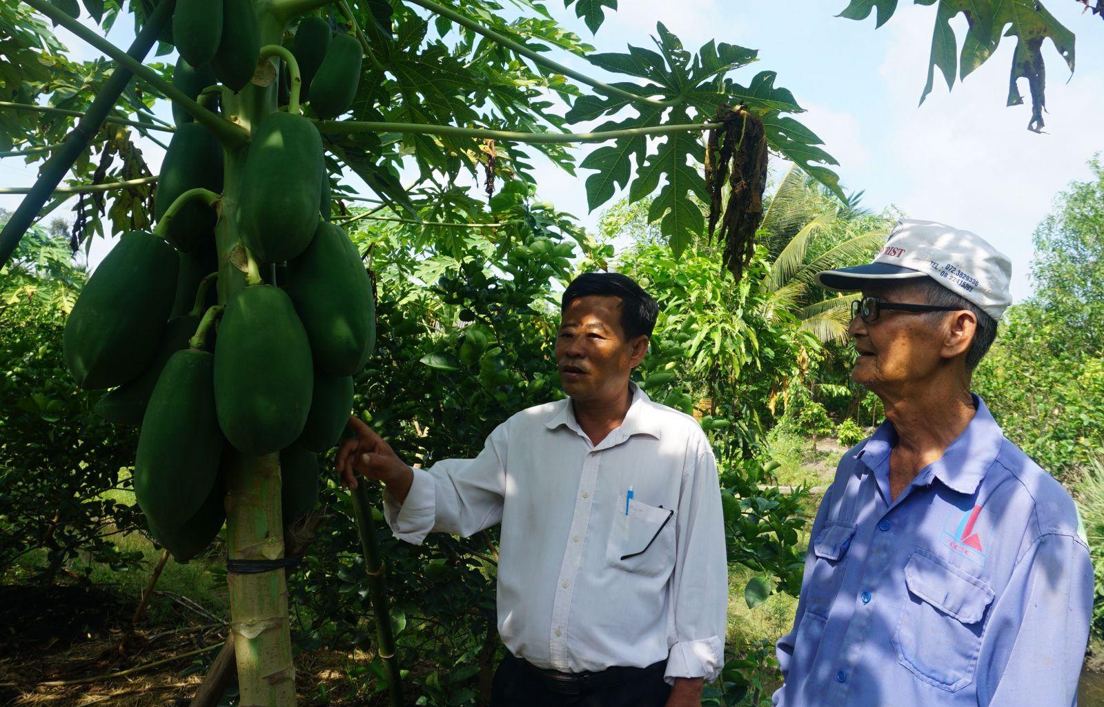 Long An: Hé lộ bí quyết trồng chanh xen canh đu đủ, cây nào cũng đeo đầy trái, nhiều người thích xem - Ảnh 1.