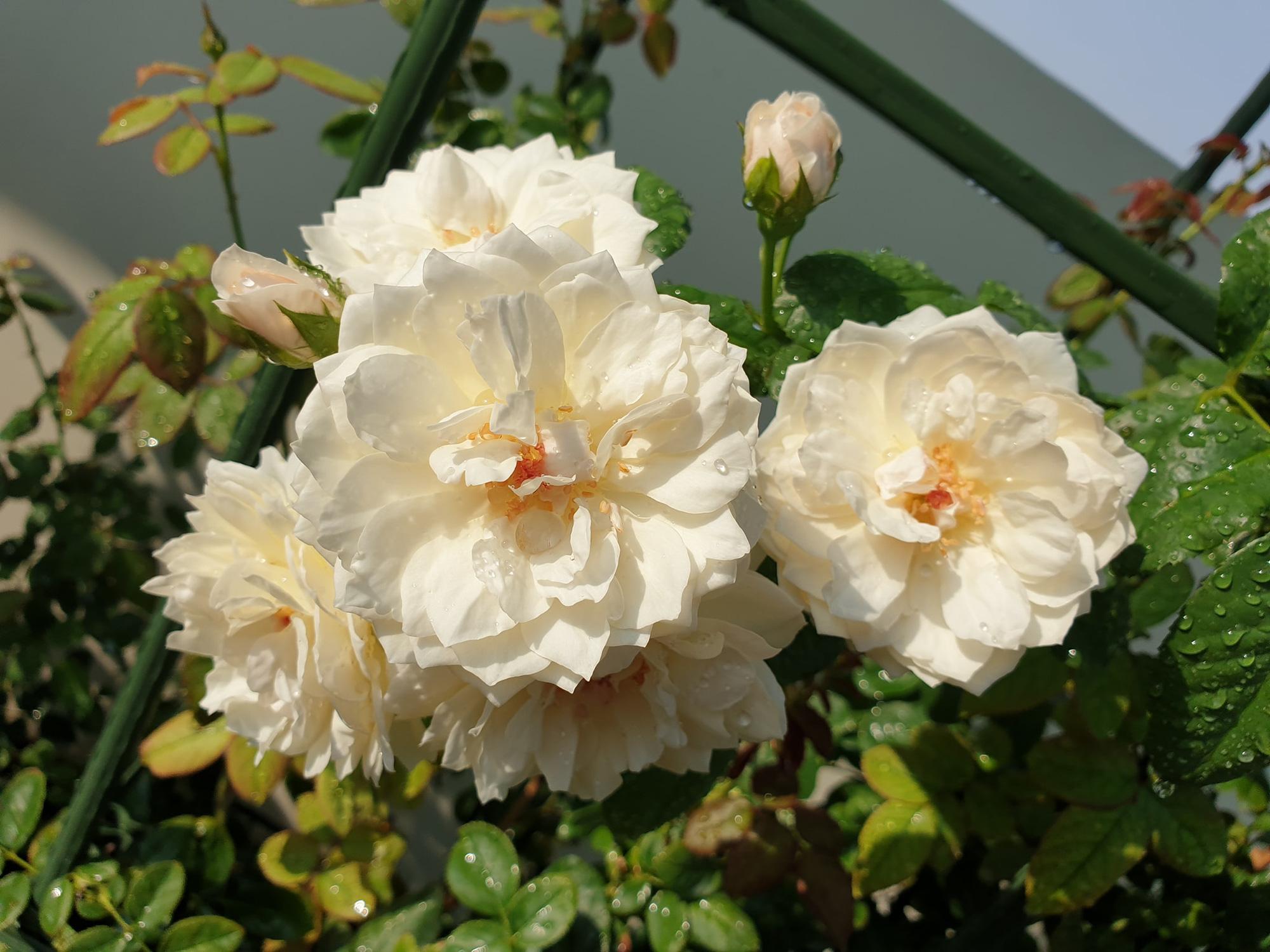 """vườn hoa hồng ngoại """" vạn người mê"""" - Ảnh 8."""