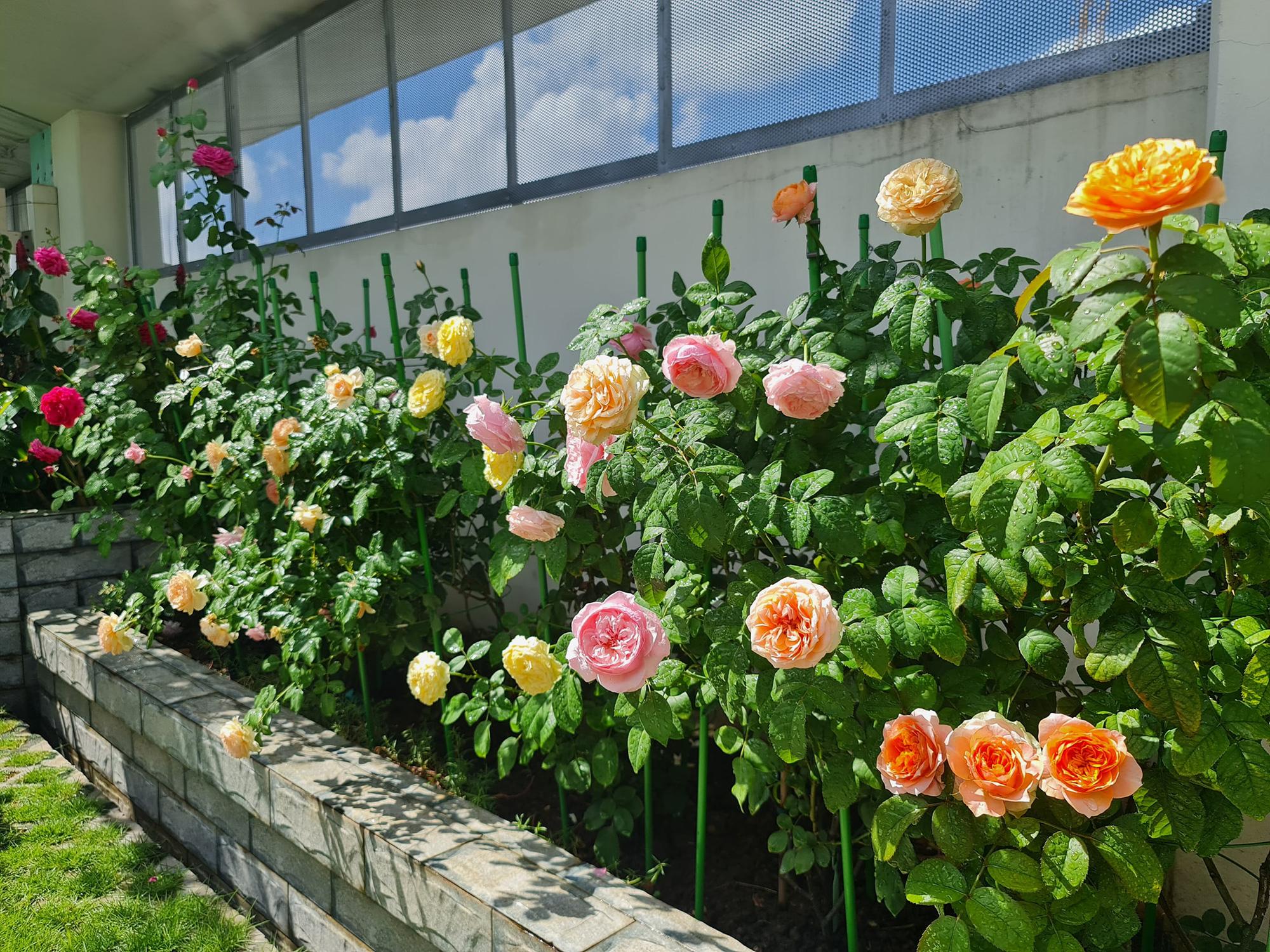 """vườn hoa hồng ngoại """" vạn người mê"""" - Ảnh 3."""
