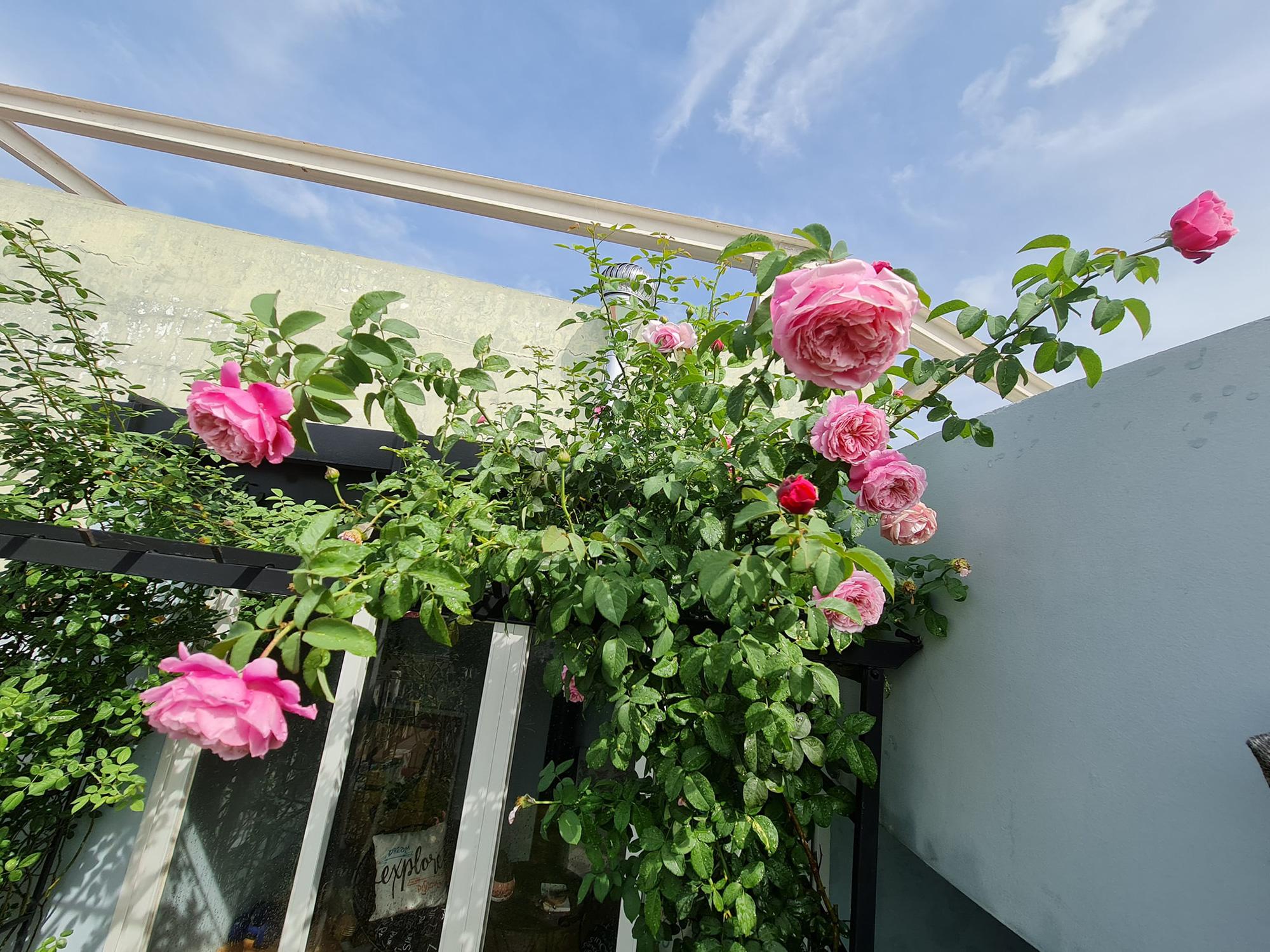 """vườn hoa hồng ngoại """" vạn người mê"""" - Ảnh 13."""