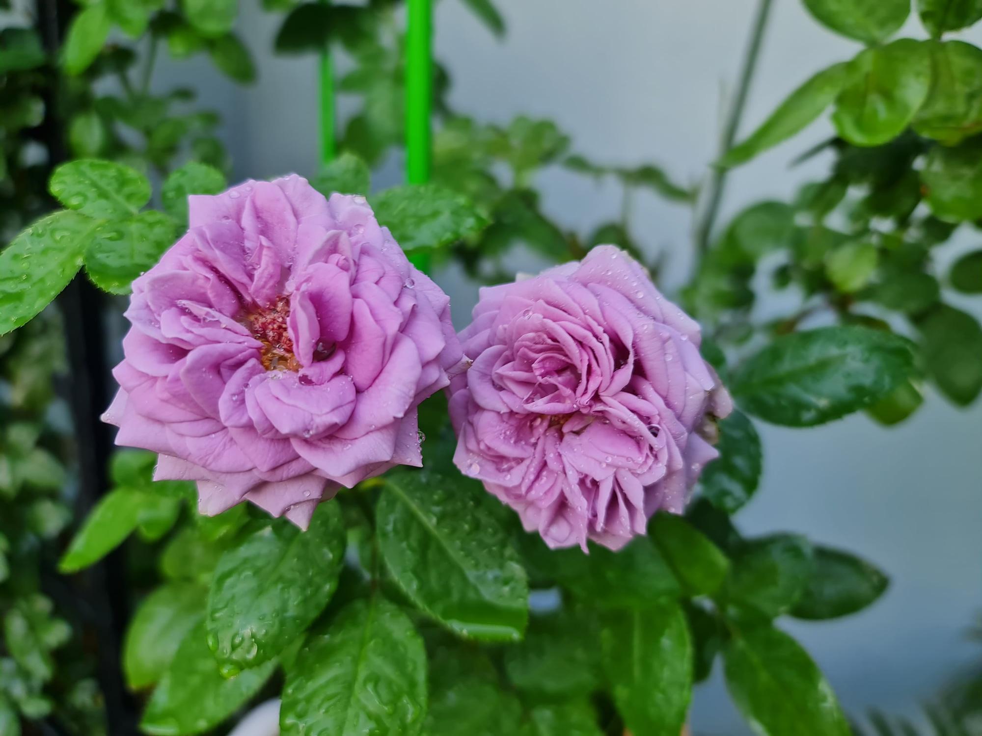 """vườn hoa hồng ngoại """" vạn người mê"""" - Ảnh 10."""