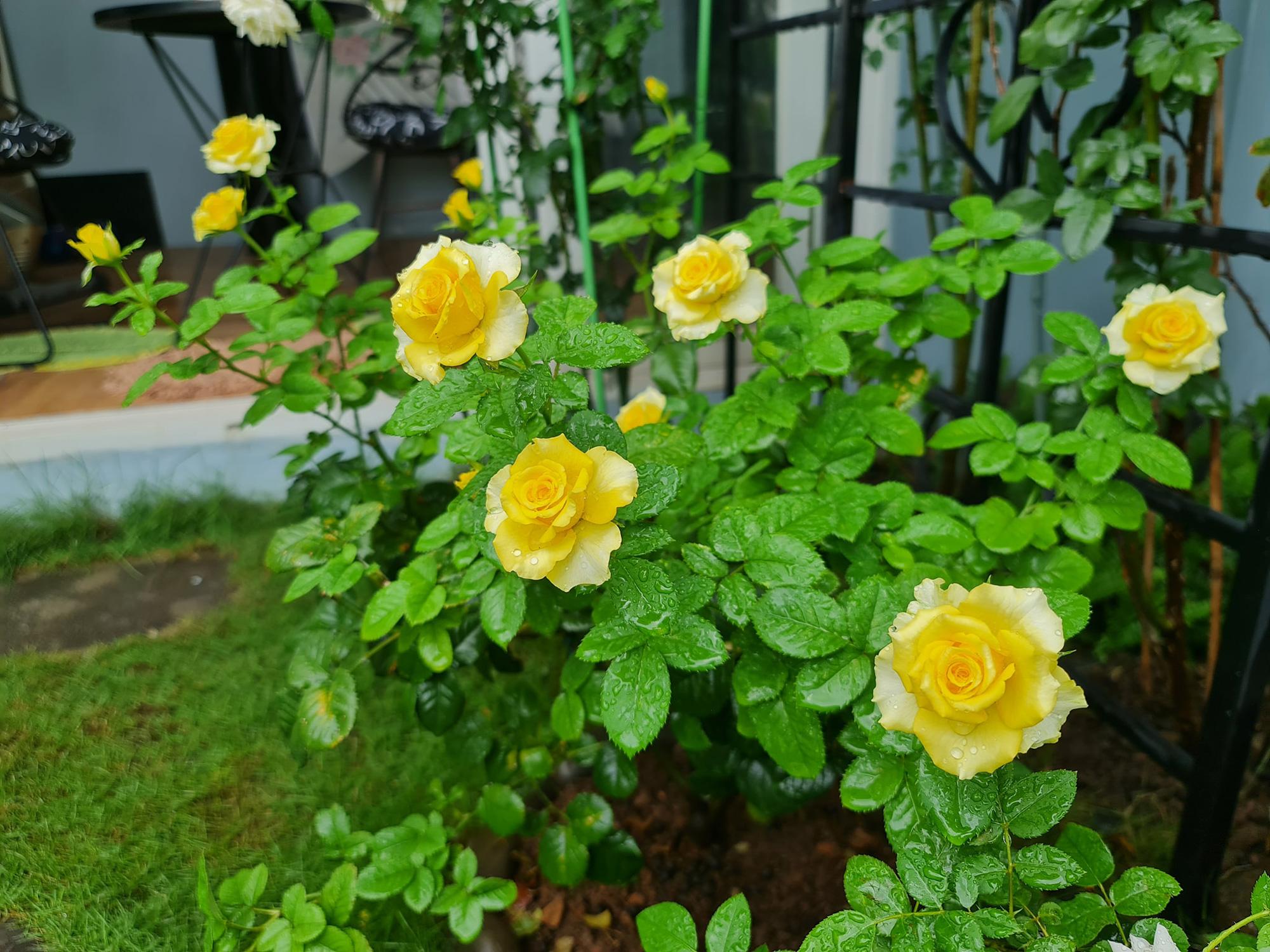 """vườn hoa hồng ngoại """" vạn người mê"""" - Ảnh 14."""