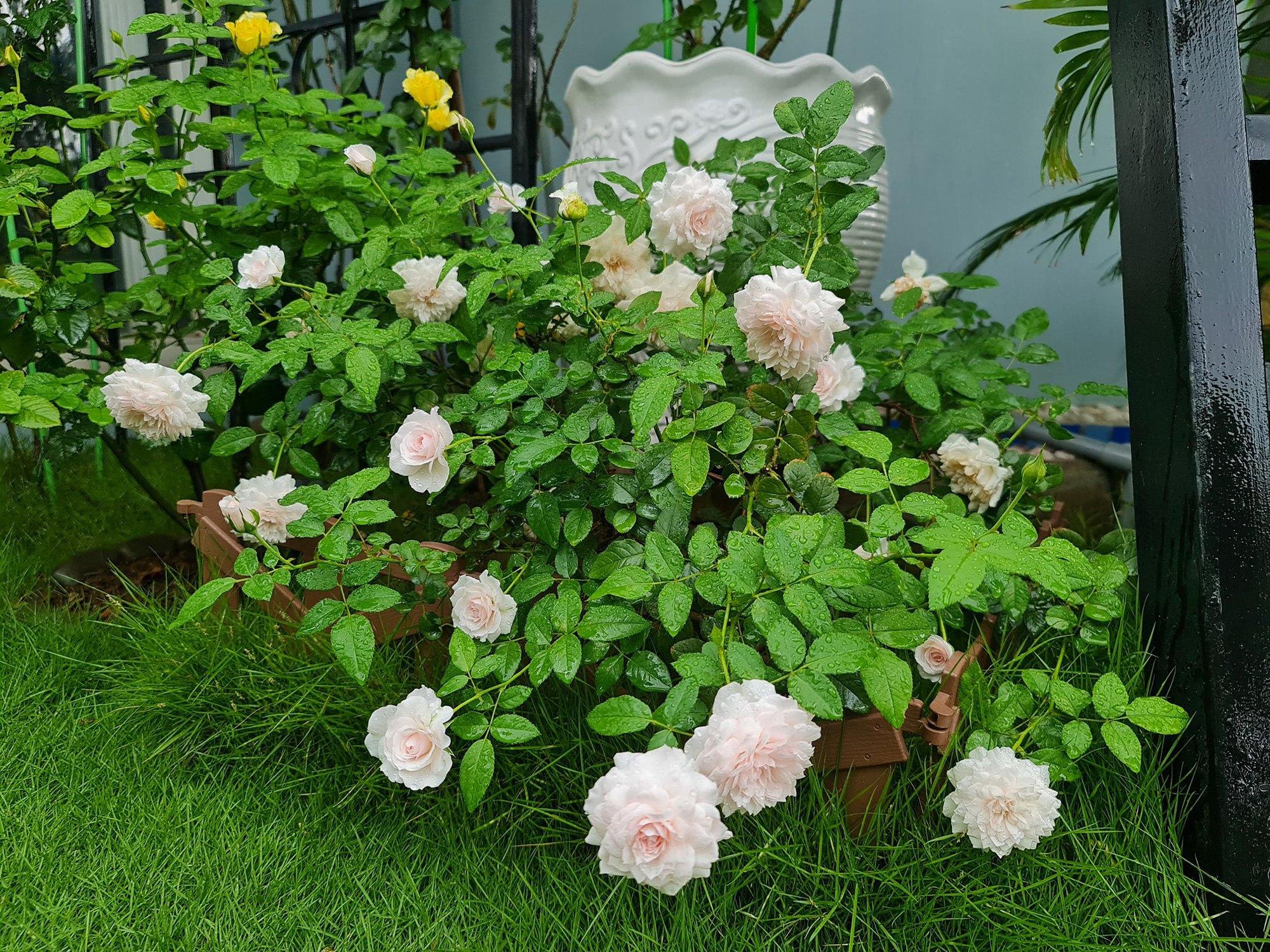 """vườn hoa hồng ngoại """" vạn người mê"""" - Ảnh 15."""