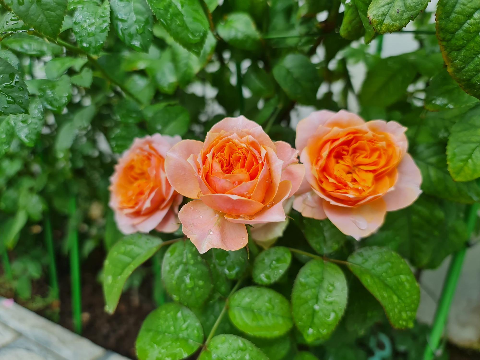 """vườn hoa hồng ngoại """" vạn người mê"""" - Ảnh 5."""