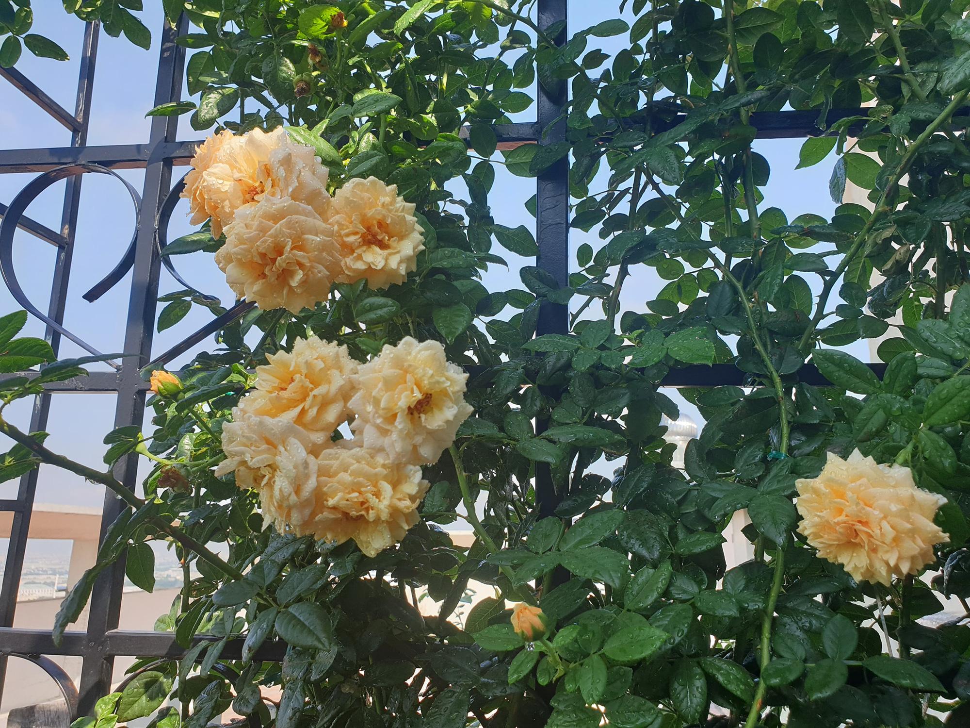 """vườn hoa hồng ngoại """" vạn người mê"""" - Ảnh 7."""