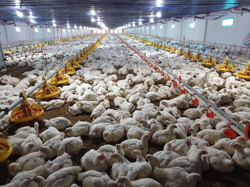 Giá gia cầm hôm nay 23/6: Giá vịt thịt miền Bắc có biến động, gà công nghiệp chững giá - Ảnh 1.
