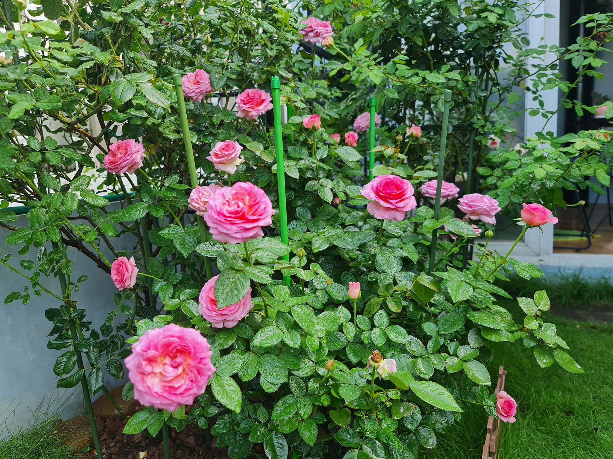 """vườn hoa hồng ngoại """" vạn người mê"""" - Ảnh 18."""
