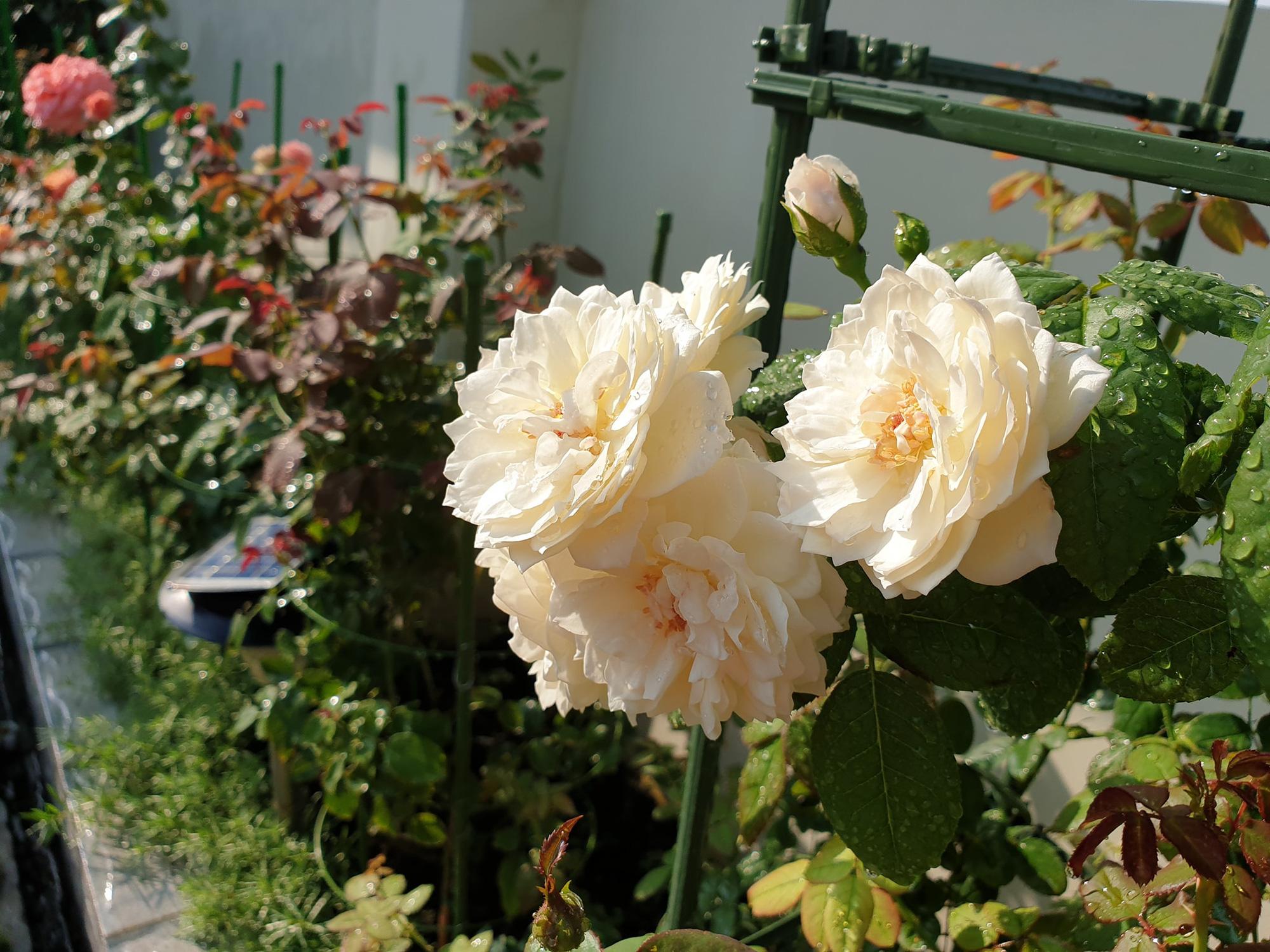 """vườn hoa hồng ngoại """" vạn người mê"""" - Ảnh 19."""