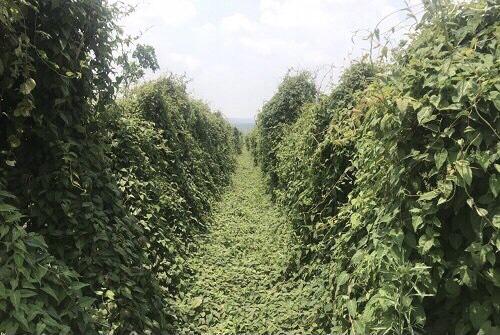 Gia Lai: Phát triển 20.000 ha dược liệu với số vốn hơn 5.000 tỷ đồng. - Ảnh 1.