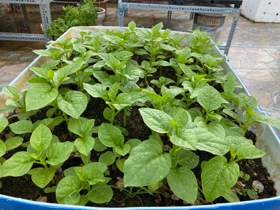 Từng không biết gì về trồng trọt, Vườn sân thượng trĩu quả  rác thải làm phân - Ảnh 6.