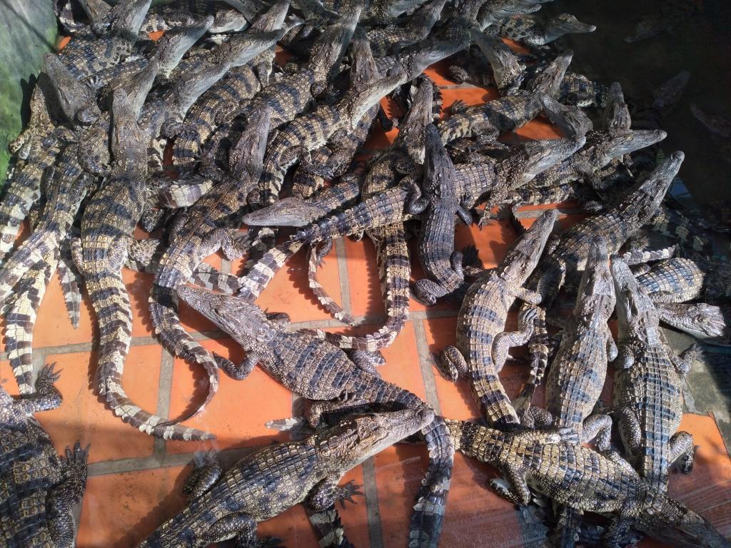 Cà Mau: Nuôi hàng trăm con cá sấu hung dữ, vì sao ông nông dân này nói có bán rẻ vẫn còn lời chán? - Ảnh 3.