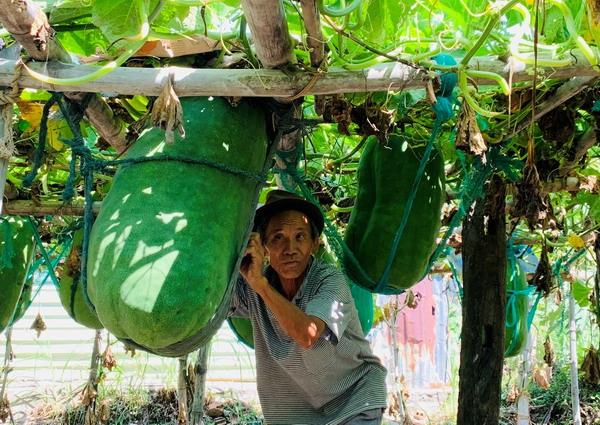 Bình Định: Nông dân làng này cứ cắt 1 trái bí đao bán là cầm ngay hàng trăm ngàn đồng - Ảnh 1.
