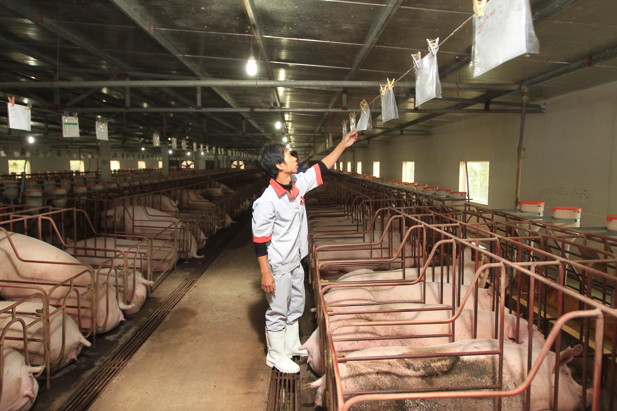 Giá lợn hơi tại Việt Nam giảm sâu, Trung Quốc đối mặt khủng hoảng thừa nguồn cung thịt lợn - Ảnh 1.