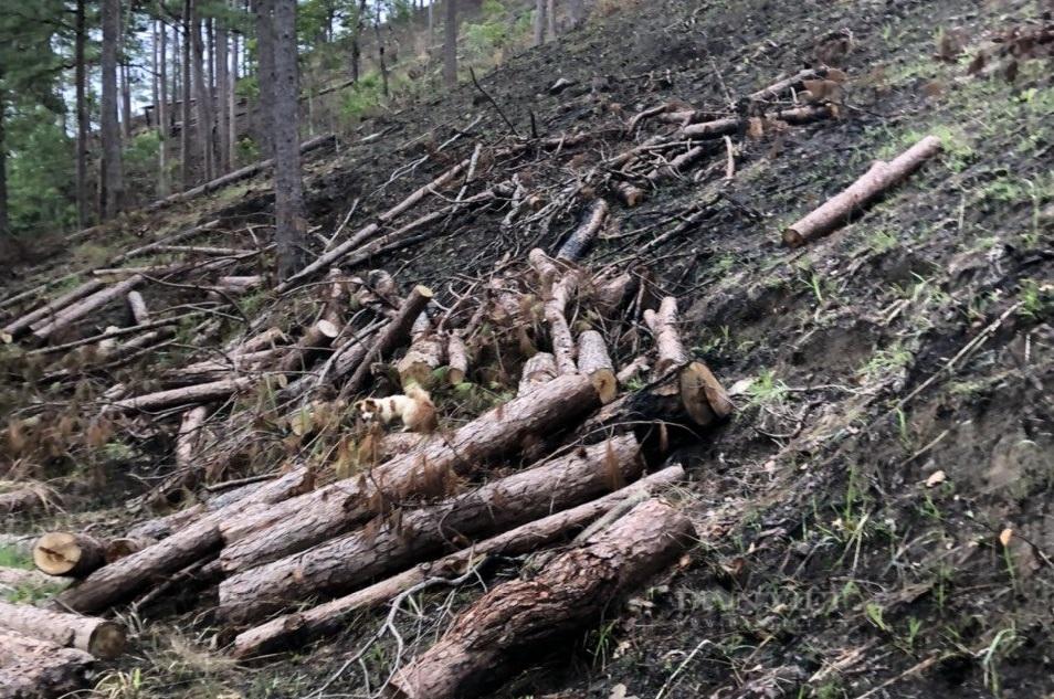 Lâm Đồng: Chỉ đạo khẩn trương điều tra vụ phá rừng thông tại tiểu khu 267C - Ảnh 2.