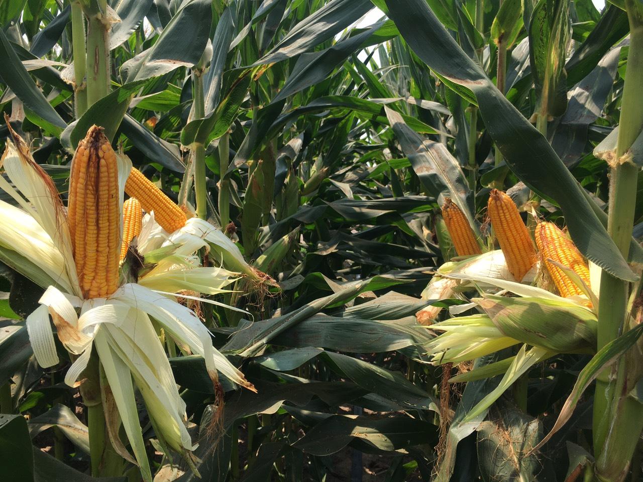 SSC - Thương hiệu hạt giống của nhà nông - Ảnh 1.