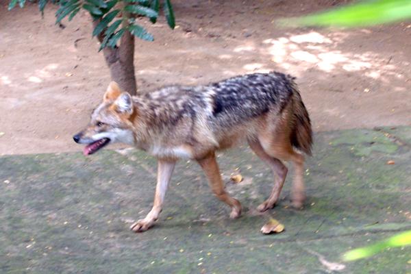 Bí ẩn về loài chó sói rừng ở Việt Nam