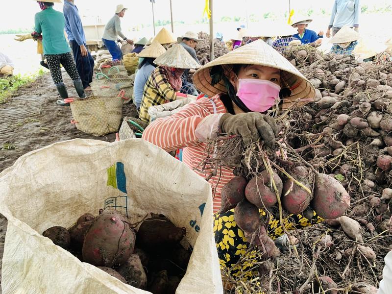 Vĩnh Long: Giá 1 ký khoai lang không bằng ly trà đá, nông dân trắng tay - Ảnh 2.
