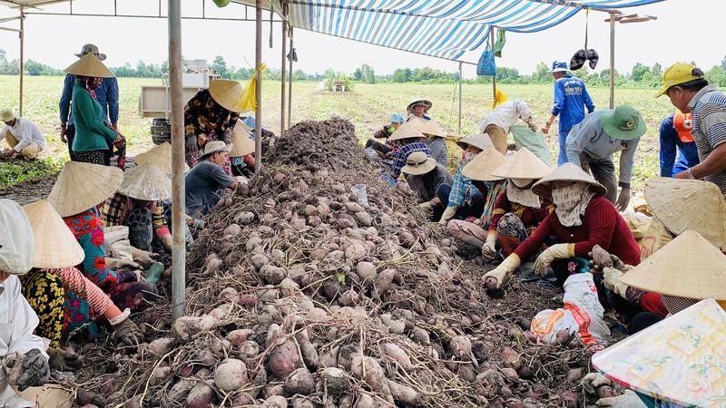 Vĩnh Long: Giá 1 ký khoai lang không bằng ly trà đá, nông dân trắng tay - Ảnh 7.