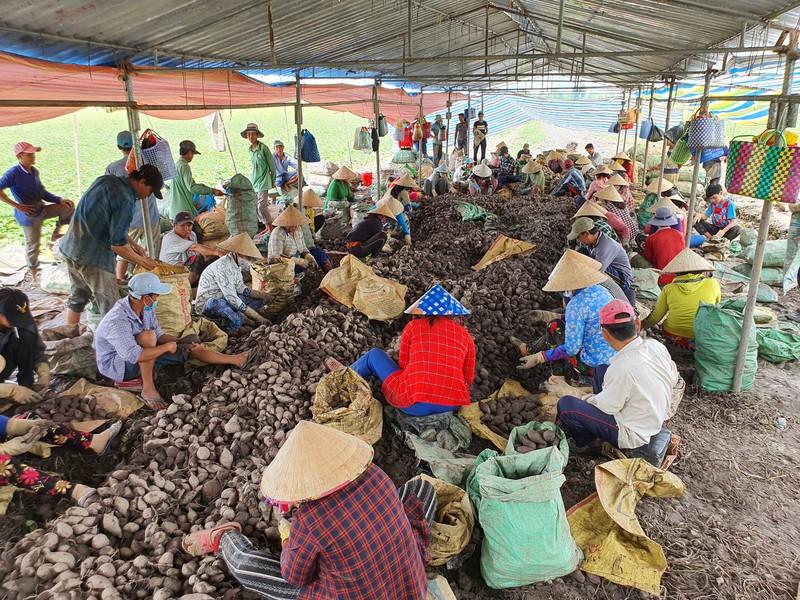Vĩnh Long: Giá 1 ký khoai lang không bằng ly trà đá, nông dân trắng tay - Ảnh 1.
