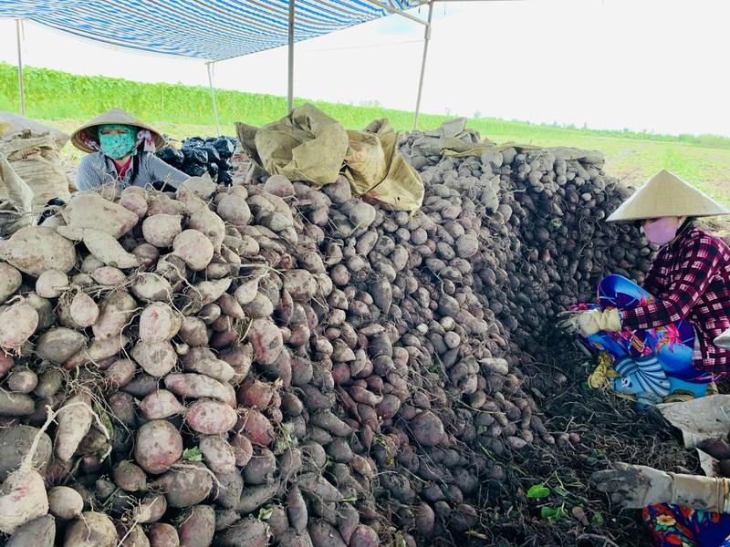 Vĩnh Long: Giá 1 ký khoai lang không bằng ly trà đá, nông dân trắng tay - Ảnh 8.