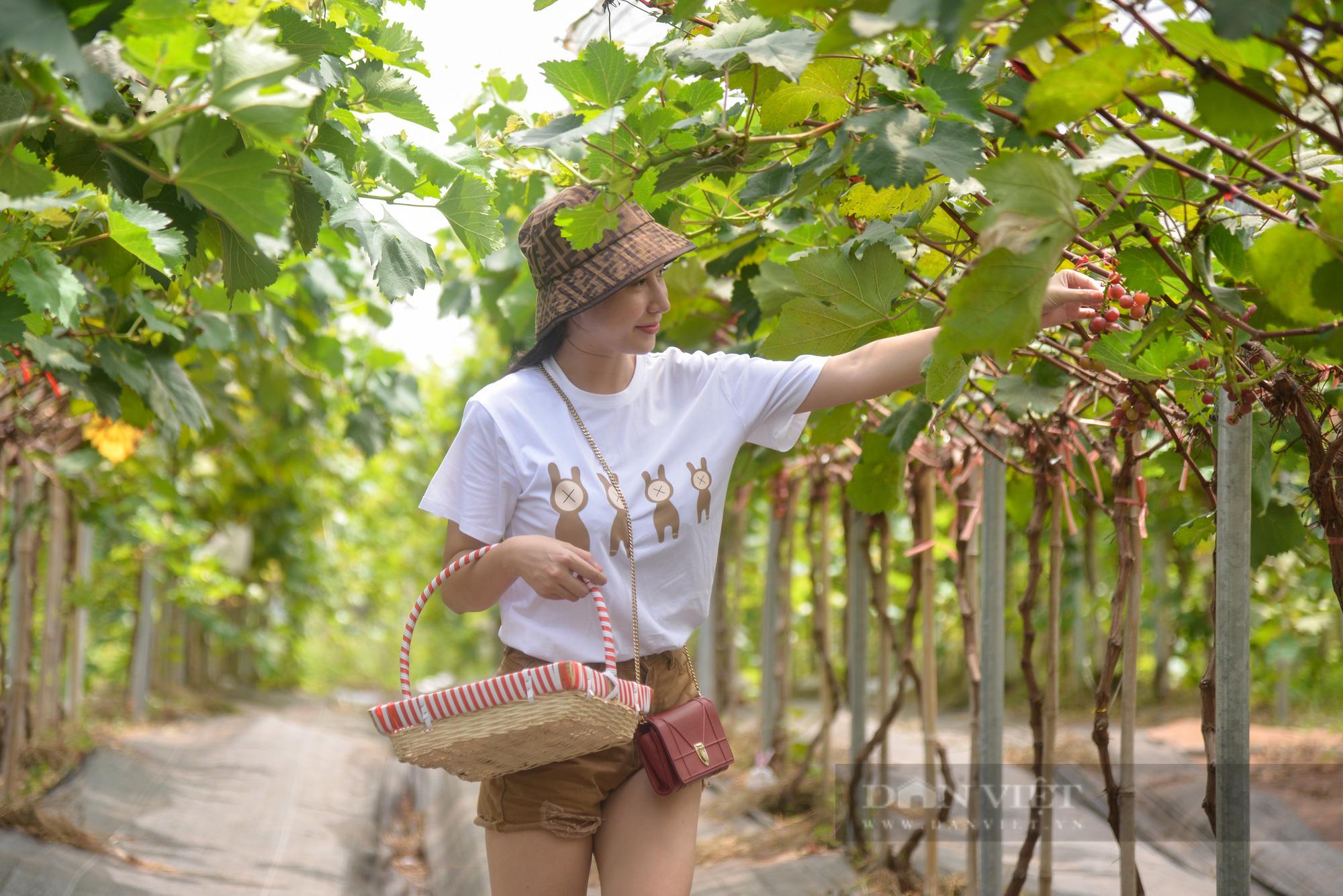 Nông trại nho giữa lòng Hà Nội thu hút giới trẻ tham quan, trải nghiệm - Ảnh 5.