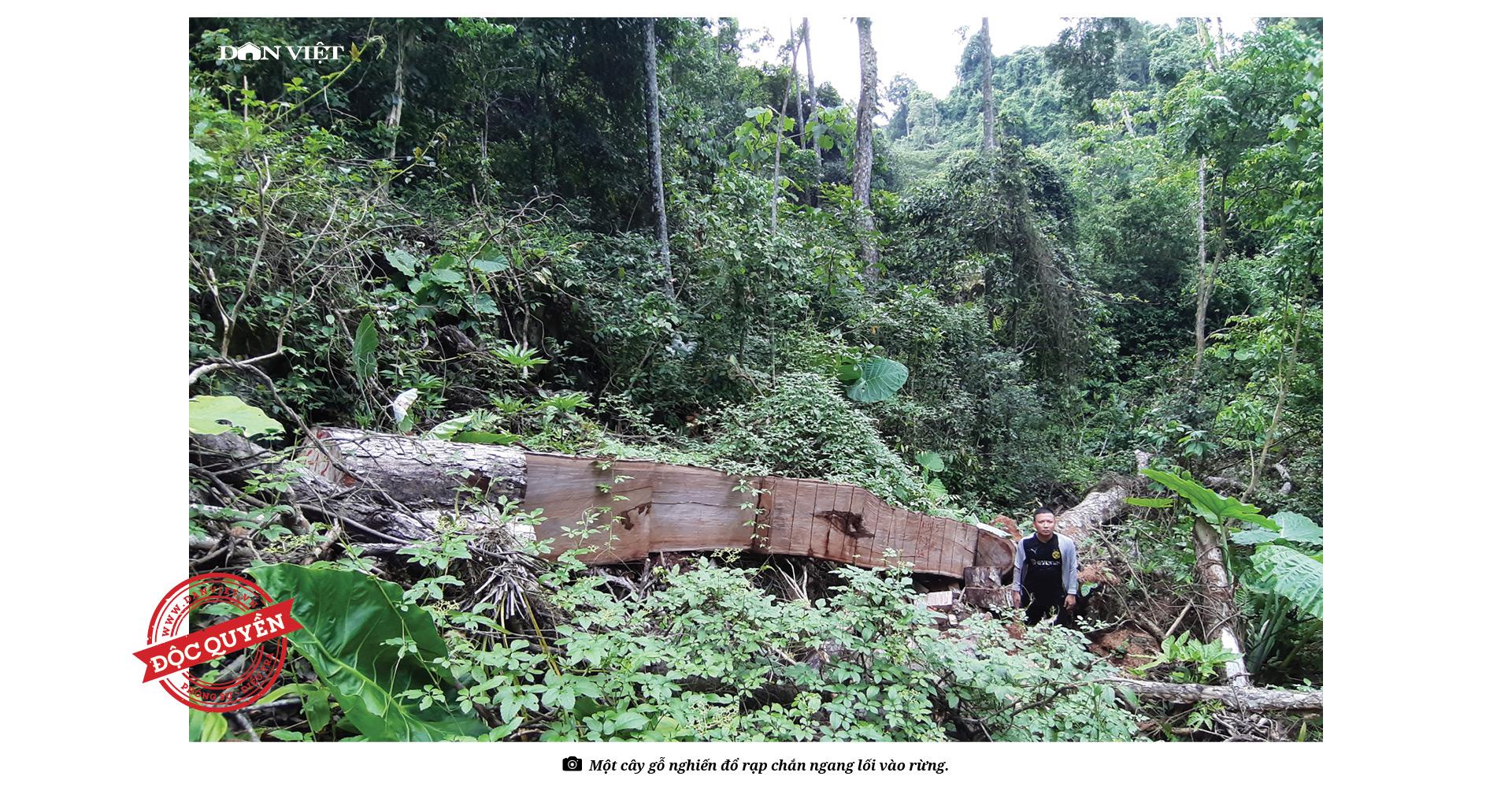 """Phía sau vụ """"thảm sát"""" rừng nghiến cổ thụ khủng nhất Việt Nam! - Ảnh 5."""