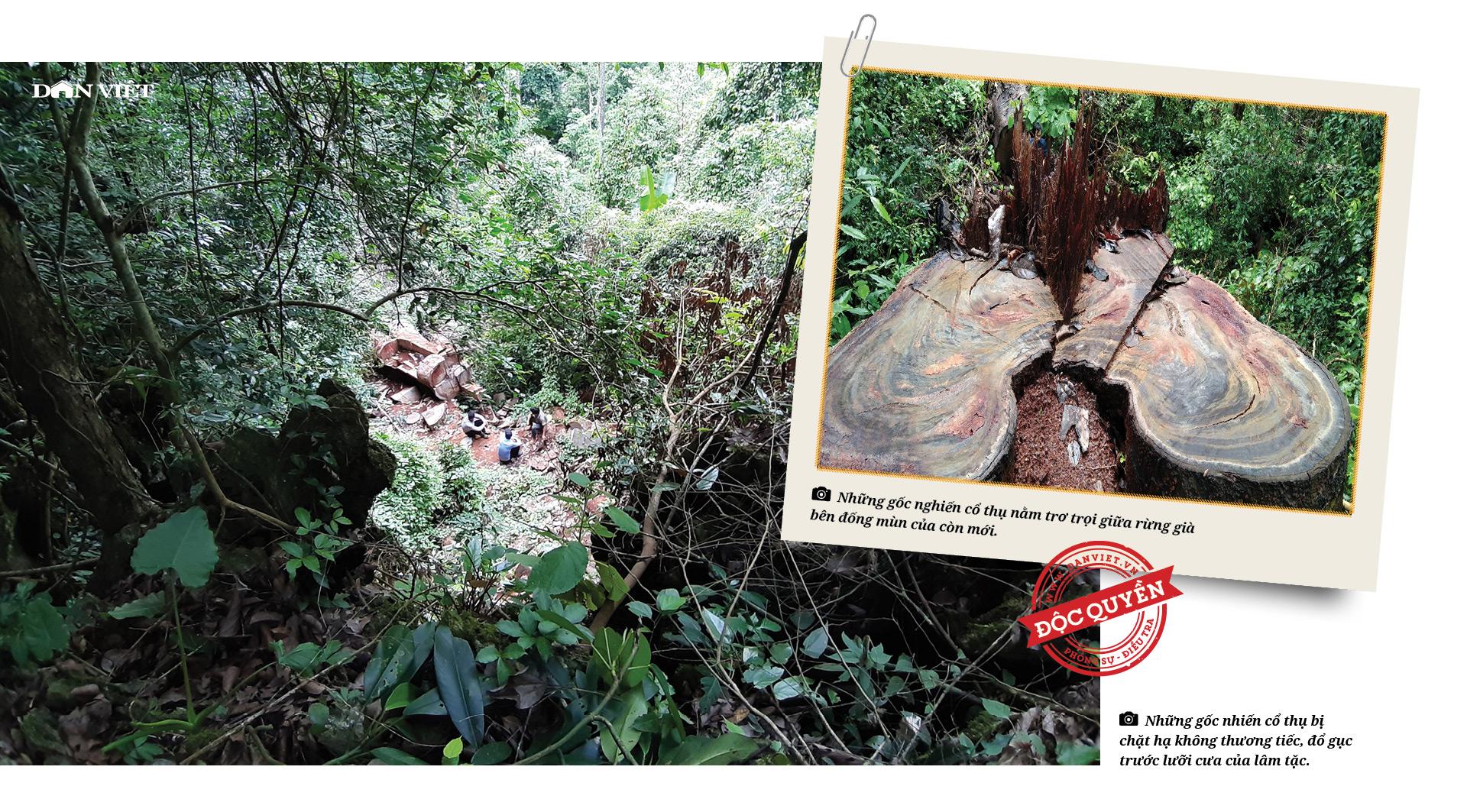 """Phía sau vụ """"thảm sát"""" rừng nghiến cổ thụ khủng nhất Việt Nam! - Ảnh 6."""