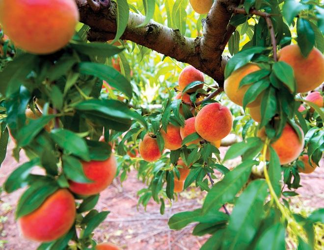 Mê mẩn vườn đào trĩu trịt quả thơm ngon, mọng nước - Ảnh 10.