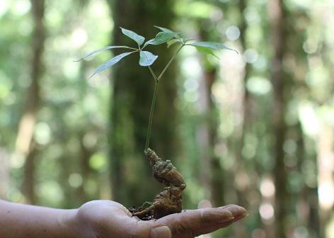 Quảng Nam: Đưa cây sâm hàng đầu Việt Nam giúp người dân mỗi năm thu nhập 3.000 - 4.000 USD - Ảnh 4.