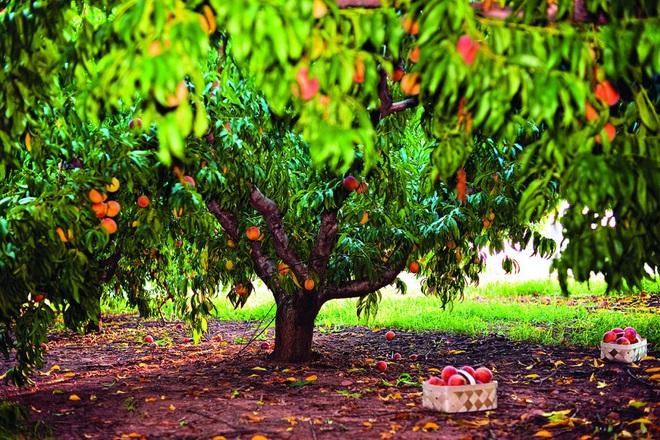 Mê mẩn vườn đào trĩu trịt quả thơm ngon, mọng nước - Ảnh 3.