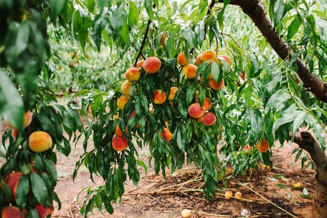 Mê mẩn vườn đào trĩu trịt quả thơm ngon, mọng nước - Ảnh 5.