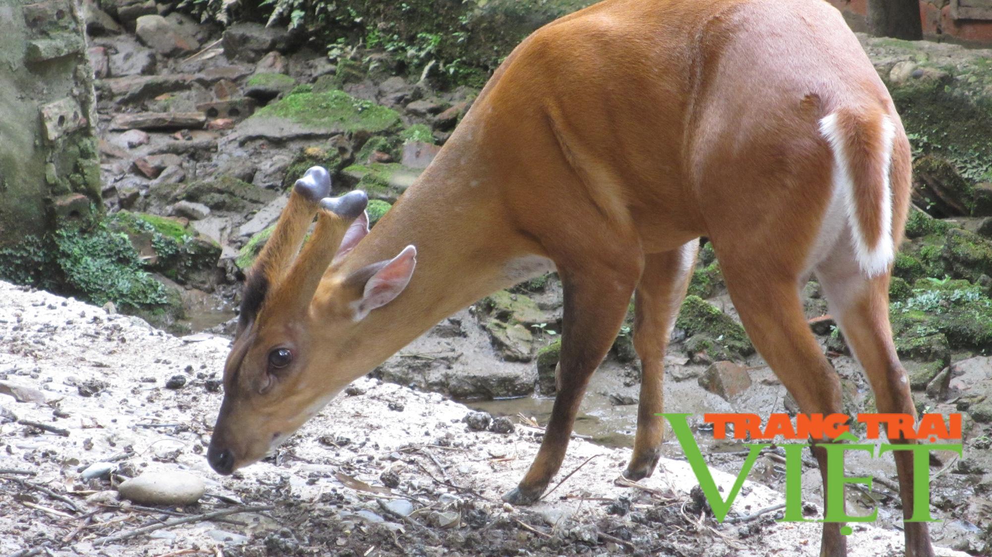 Mang hoẵng rừng về nuôi làm cảnh, lão nông vùng biên lãi lớn - Ảnh 3.