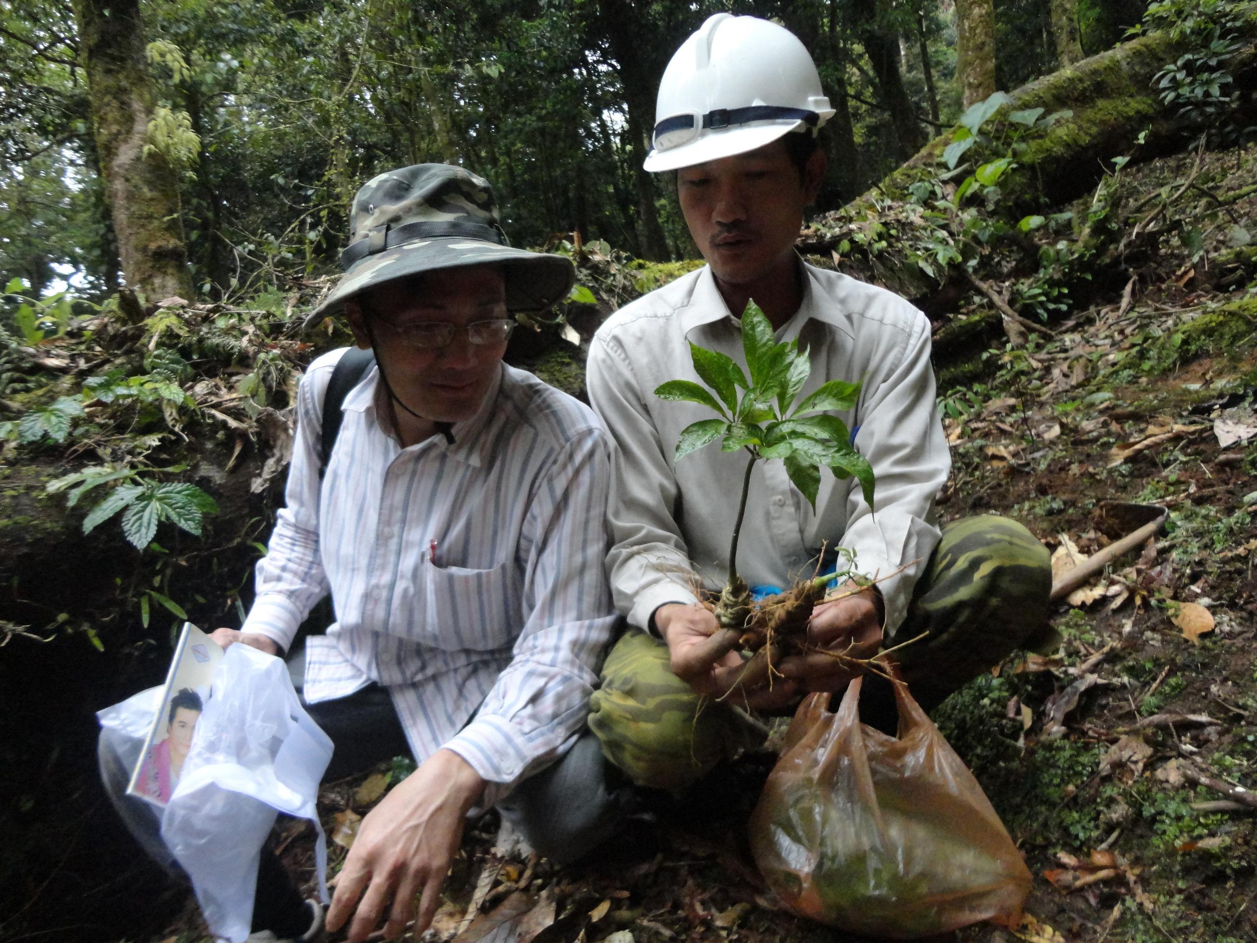 Quảng Nam: Đưa cây sâm hàng đầu Việt Nam giúp người dân mỗi năm thu nhập 3.000 - 4.000 USD - Ảnh 1.