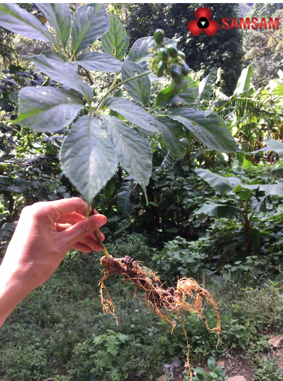 Quảng Nam: Đưa cây sâm hàng đầu Việt Nam giúp người dân mỗi năm thu nhập 3.000 - 4.000 USD - Ảnh 8.