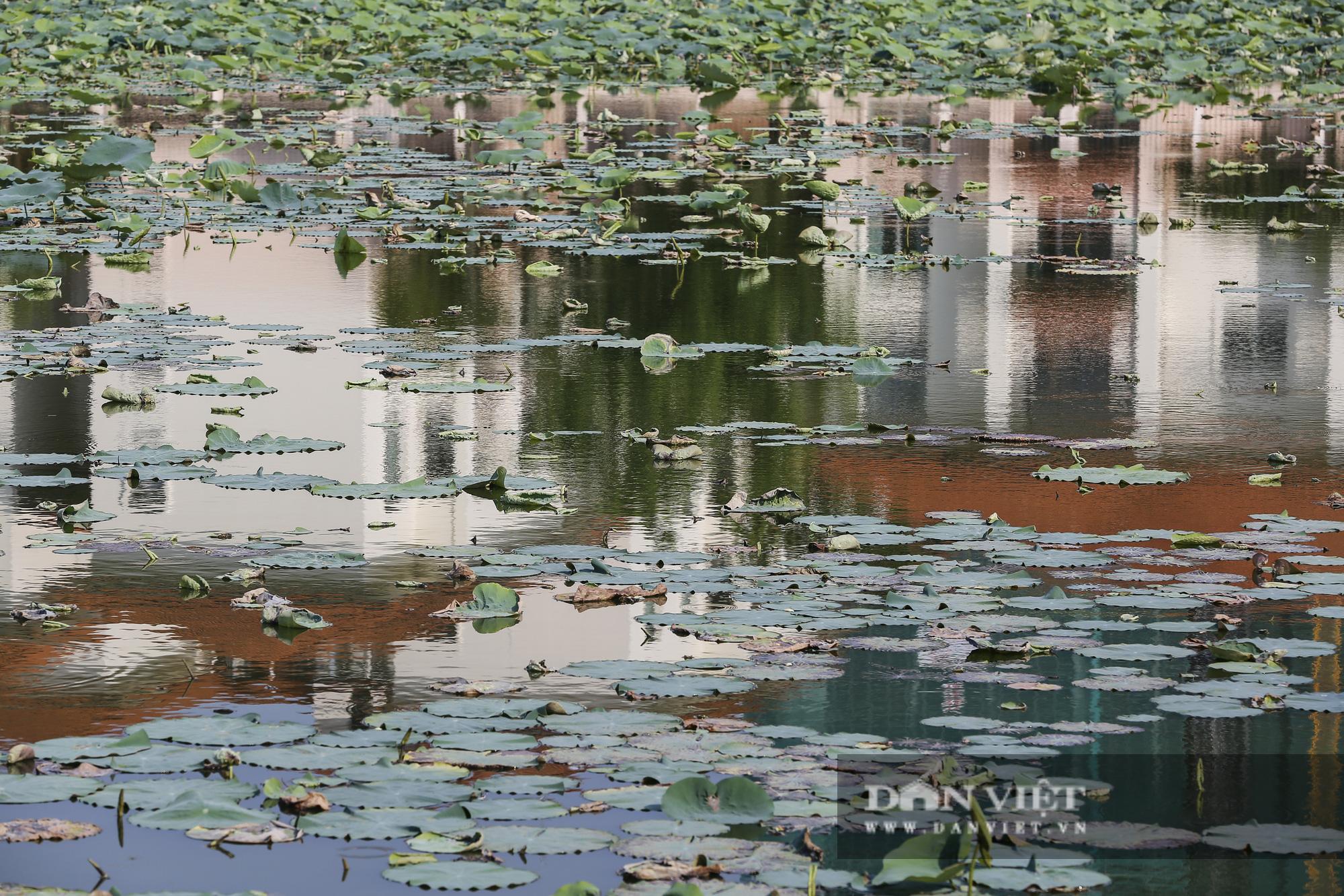 Đầm sen hồ Tây vắng lặng chưa từng có, chủ đầm thiệt hại nặng nề  - Ảnh 8.