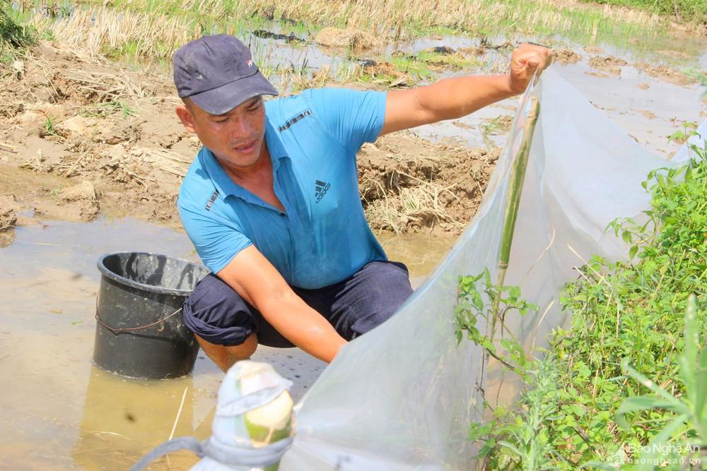 """Nghệ An: Anh nông dân huyện lúa thu bộn tiền nhờ """"thả"""" cua trên ruộng - Ảnh 2."""