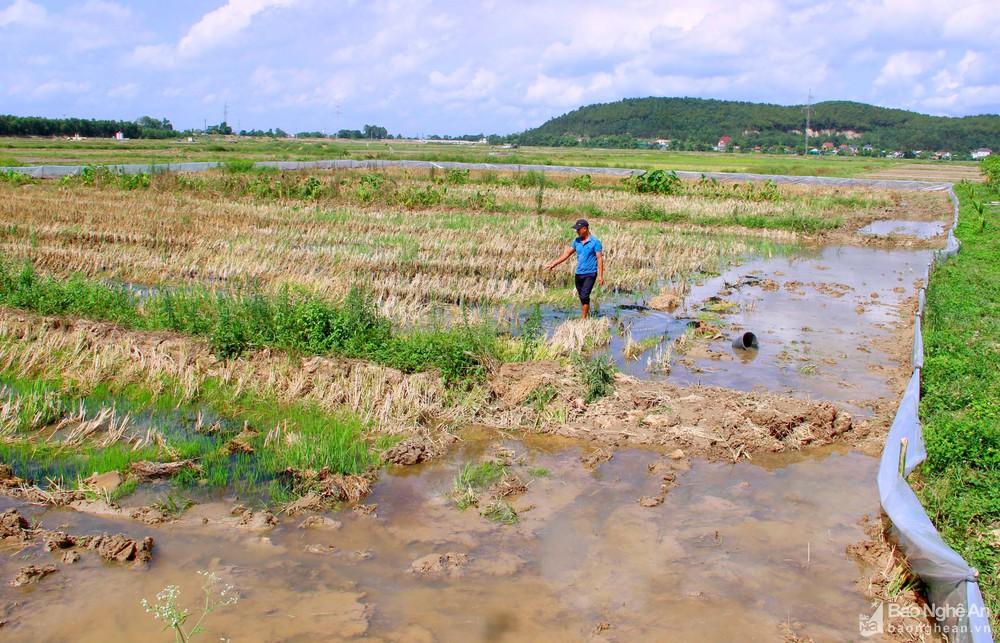 """Nghệ An: Anh nông dân huyện lúa thu bộn tiền nhờ """"thả"""" cua trên ruộng - Ảnh 1."""