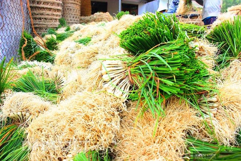 Trồng thứ củ trắng, lá xanh, nằm vùi dưới đất, nông dân miền núi Bình Định đón thành quả bất ngờ  - Ảnh 3.