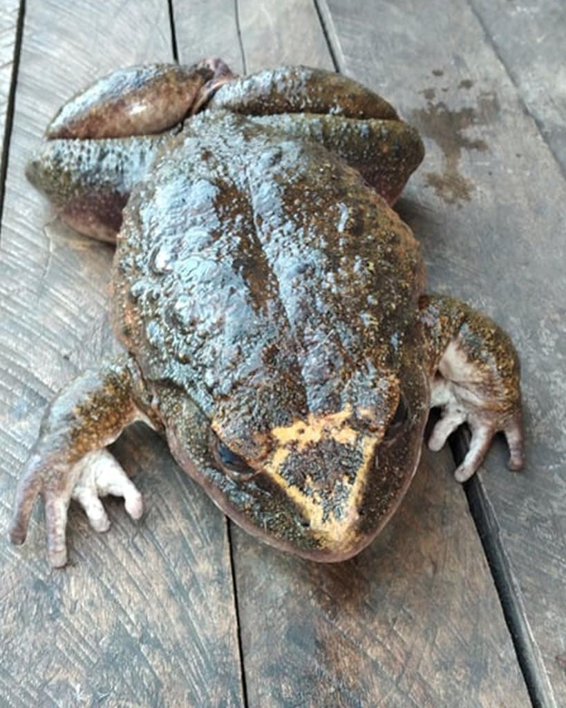 Dân làng hoảng hồn phát hiện con ếch khổng lồ to bằng người chưa từng có - Ảnh 2.