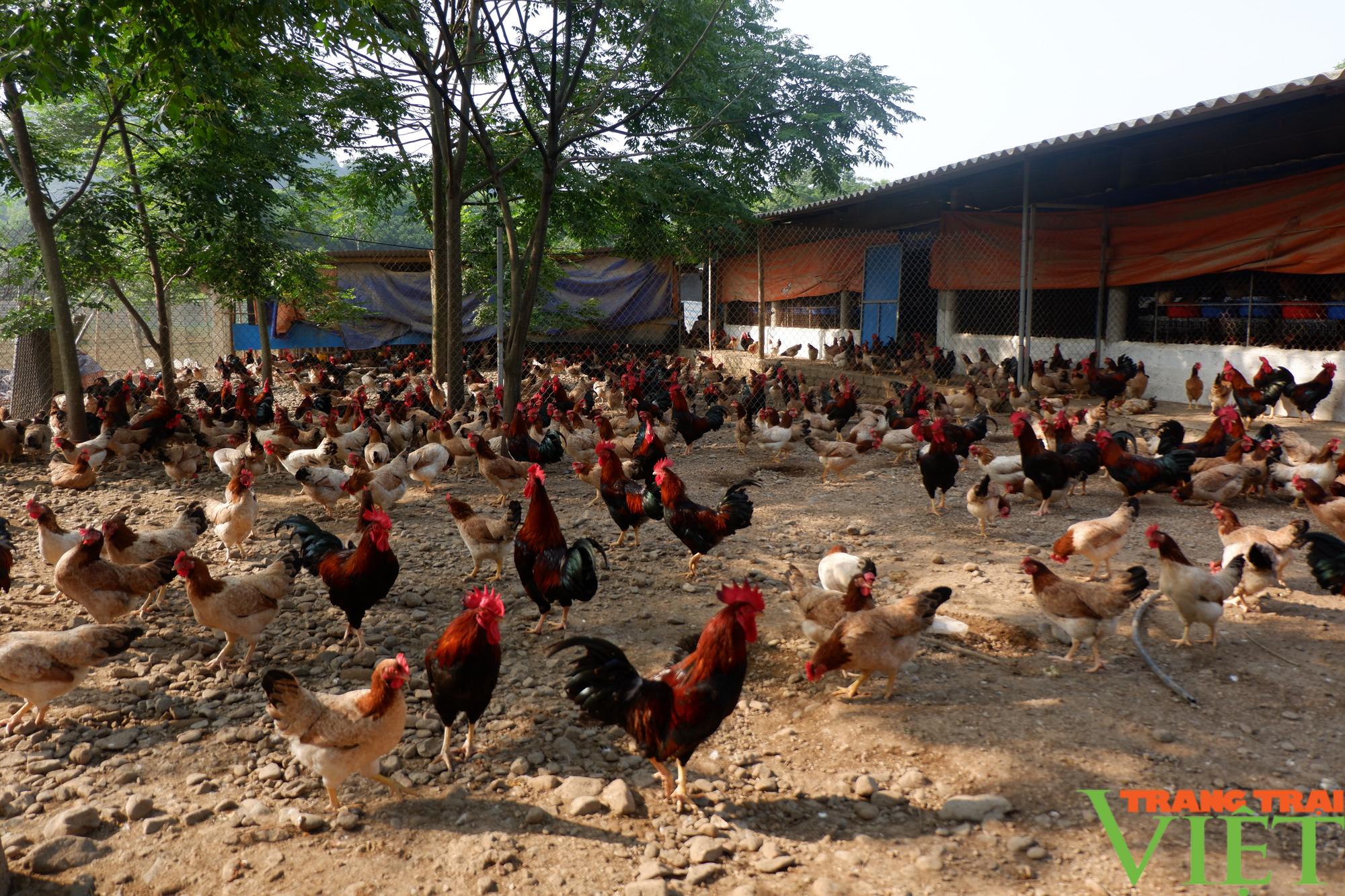 """Hòa Bình: Đệm lót sinh học là """"bí kíp"""" giúp nông dân chăn nuôi gà an toàn, thu tiền tỷ mỗi năm - Ảnh 2."""