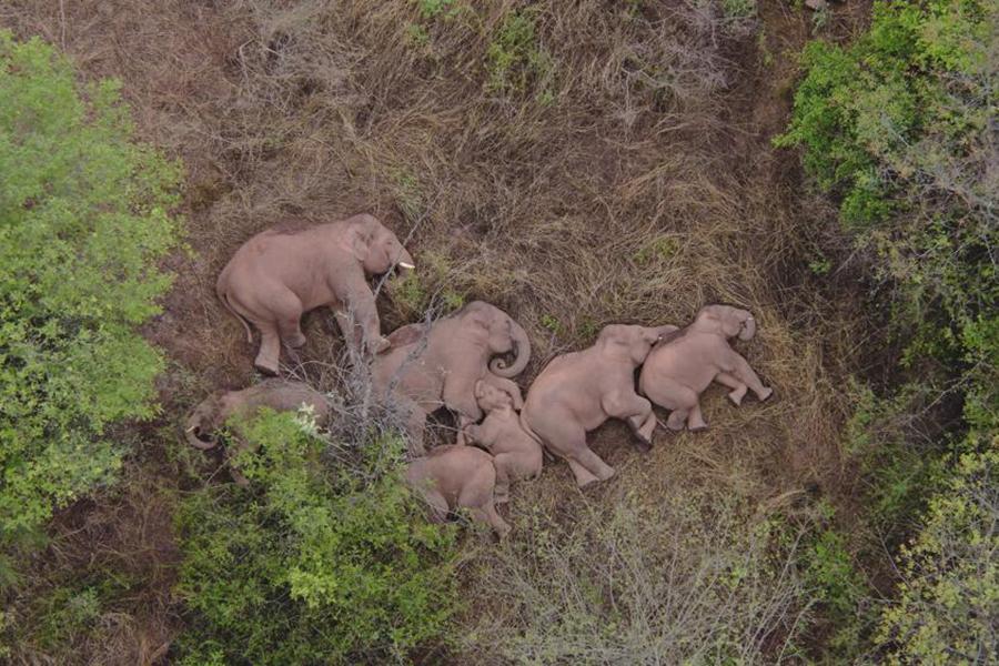 """Đàn voi rừng lang thang bí ẩn ở Trung Quốc thành """"sao"""" thế giới - Ảnh 1."""